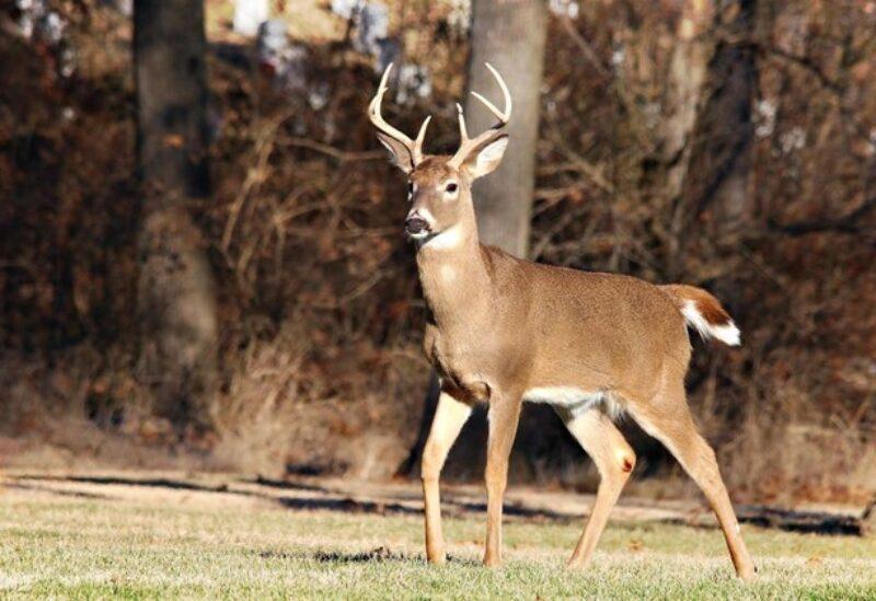 Le cerf de Virginie sauvage
